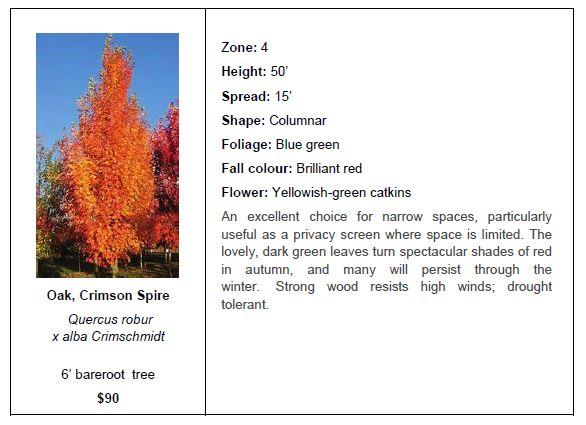 Oak Crimson Spire