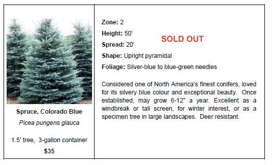 Spruce Colorado Blue SO