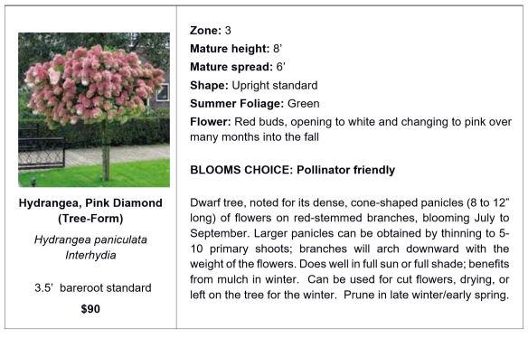 Hydrangea, Pink Diamond