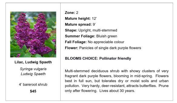 Lilac, Ludwig Spaeth