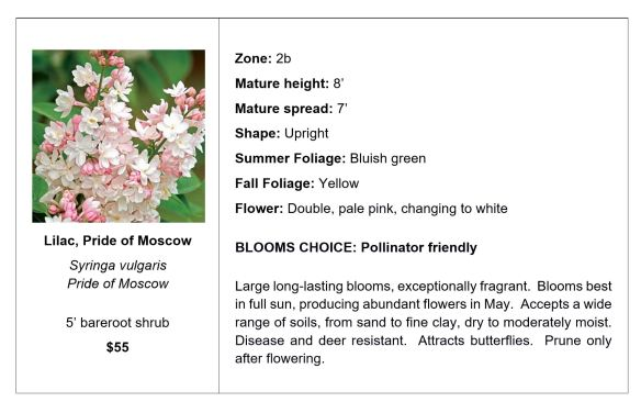 Lilac, Pride of Moscow