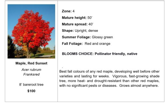Maple, Red Sunset