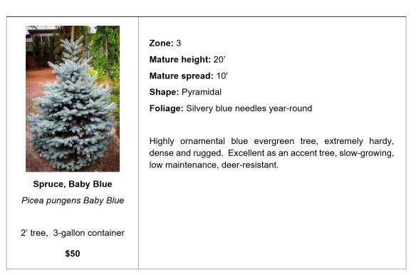 Spruce, Baby Blue