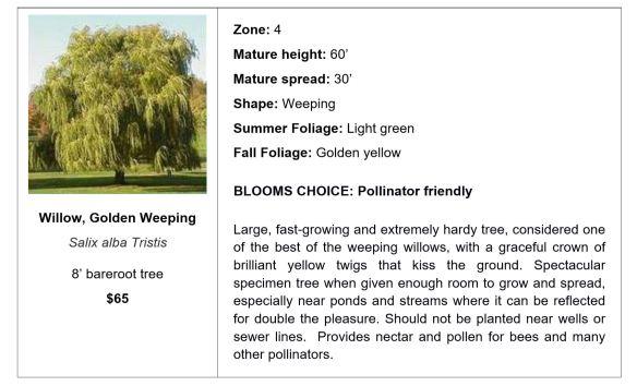 Willow, Golden Weeping